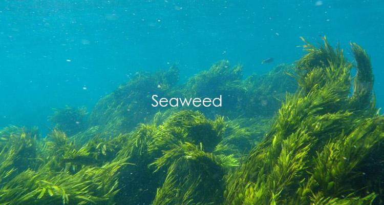 Japanese uses seaweed to make nuru gel